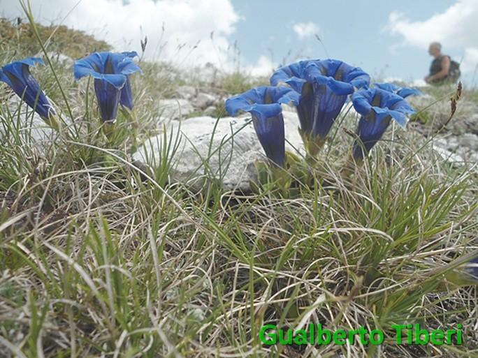 Gentiana dinarica-mt. 2100 slm-Valle Leona-10-06-2015-Gualberto Tiberi (2)