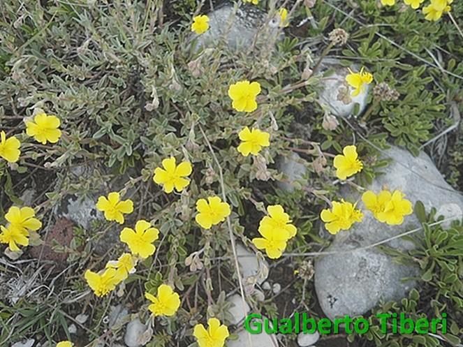 Helianthemum oelandicum-Campo Felice-01-06-2015-Gualberto Tiberi (1)