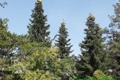 Abies alba-Pineta di Roio (1)