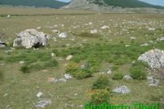 Cachrys ferulacea a Campo Felice-26.06.2014-Gualberto Tiberi (3)