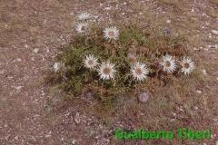 Carlina acaulis subsp. caulescens-M.te Ocre-Gualberto Tiberi