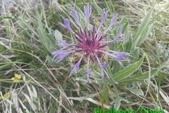 Centaurea montana(triumfettii-cana)-Campo Felice-06-06-2015-Gualberto Tiberi