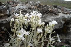 Cerastium tomentosum-Campo Felice-1550 slm-Gualberto Tiberi