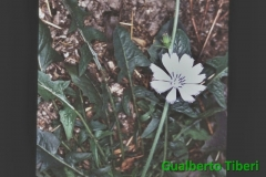 Cichorium intybus-Ostia Lido- Gianfranco e Gualberto