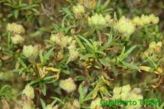 Cistus monspeliensis- Decima-Malafede (2)