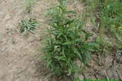 Cistus monspeliensis- Decima-Malafede (3)
