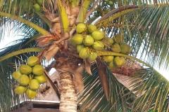 Cocos nucifera( Tulum-Mexico)gennaio 2015