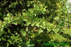 Crataegus monogyna-Orto Botanico(VT) Gualberto Tiberi