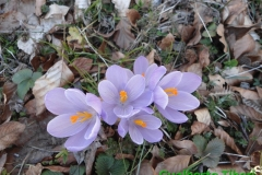 Crocus albiflorus-Rifugio Sebastiani-mt.2103 slm-10-06-2015-Gualberto Tiberi (3)