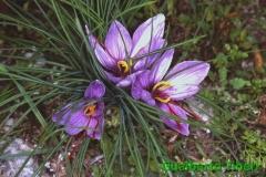 Crocus sativus-Navelli-10-06-1996-Gualberto Tiberi (5)