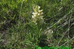 Dactylorhiza sambucina-Campo Felice-06.06.2014-Gualberto Tiberi
