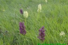 Dactylorhiza sambucina-Campo Impertore-23.06.2014-Gualberto Tiberi (1)