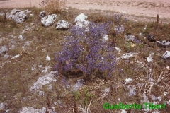 Eryngium amethistynum- S. Eramo(Lucoli) Gualberto Tiberi
