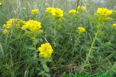Euphorbia gasparrinii-Campo Felice-01-06-2015-Gualberto Tiberi (2)