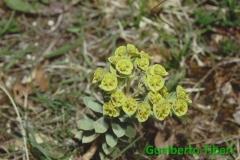 Euphorbia myrsinites- Campo Felice-Gualberto Tiberi (1)