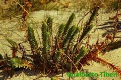 Euphorbia paralias-C. Porziano- Gualberto Tiberi