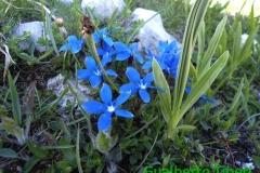 Gentiana brachyphylla-Valle leona-mt.1850 slm-06.06.2014-Gualberto Tiberi