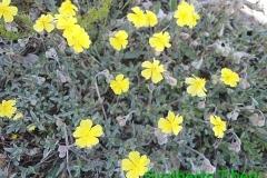 Helianthemum oelandicum-Campo Felice 03-06-2015-Gualberto Tiberi (4)