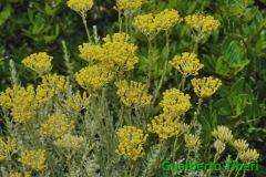 Helichrysum italicum- San Teodoro(Olbia) 12.06.2000- Gualberto Tiberi