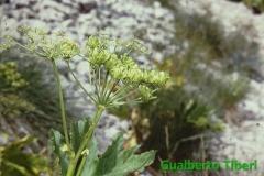 Heracleum pyrenaicum-Colle dell'Orso mt. 2175 slm-Gualberto Tiberi