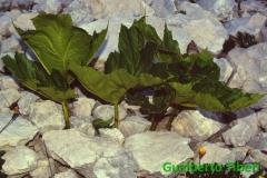 Heracleum pyrenaicum e Doronicum sp.- mt. 2250 slm. Cima Trieste (1)