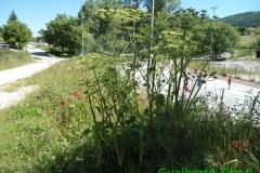 Heracleum sphondylium 12.06.2013-Tornimparte-Gualberto Tiberi