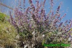Hyssopus officinalis- Gerlitzen(Aut)-mt. 1450 slm. Gualberto Tiberi