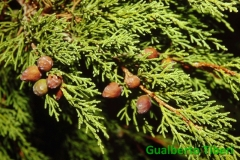 Juniperus phoenicea- C. Porziano- Gualberto Tiberi