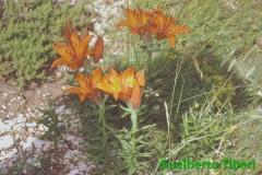 Lilium bulbiferum subsp. croceum- Valle d'Arano(Ovindoli) mt. 1350 slm.-Gualberto Tiberi