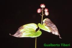 Maianthemum bifolium- Velden(Austria) Gianfranco Sperati- Gualberto Tiberi
