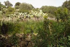 Opuntia ficus-indica- Maracalagonis(CA) 04.04.2013-Gualberto