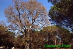 Phyllirea angustifolia-(altezza mt. 14,5) C. Porziano- Gualberto Tiberi