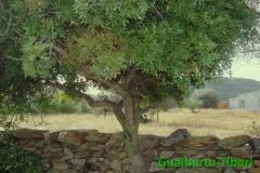 Pistacia lentiscus-Selimini(OT) 11.06.2000, Gualberto Tiberi