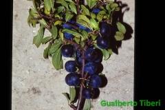 Prunus spinosa- Tornimparte(AQ) Gualberto Tiberi