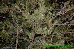 Ribes uva crispi- M.te Orsello(AQ)-1700 slm. Gualberto Tiberi