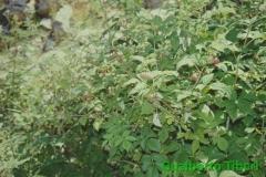 Rubus idaeus- faggeta di Cerasolo(AQ) Gualberto Tiberi