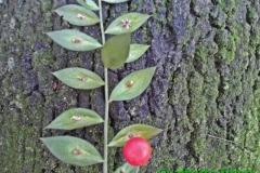 Ruscus aculeatus-bacca uscente dall'ascella della vera foglia-Gualberto Tiberi (1)