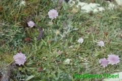 Scabiosa silenifolia- Campo Imperatore-mt. 2200 slm- Gualberto Tiberi
