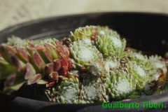 Sempervivum arachnoideum- Leonessa(M.te di Cambio) mt. 1700 slm. Gualberto Tiberi