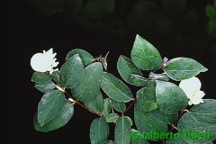 Symphorycarpus rivularis-Carinzia-Galberto Tiberi-G.Sperati