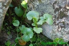 Umbilicus rupestris- Is Concias(CA)03-04.2013-Gualberto Tiberi