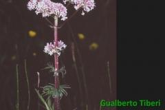 Valeriana officinalis- EUR(Roma) Gualberto Tiberi
