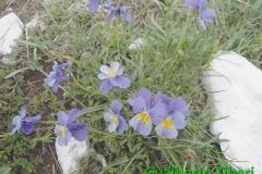 Viola eugeniae(calcarata)-06-06-2015-Gualberto Tiberi