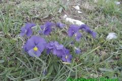 Viola eugeniae(calcarata)-Pascolo Campo Felice-mt. 1580 slm-01-06-2015-Gualberto Tiberi