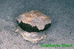 Agaricus aridicola-dune di C.Porziano-26-11-1992-Gualberto Tiberi