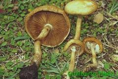 Agrocybe praecox- Gualberto Tiberi